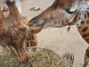 Giraffen im Kinderzoo